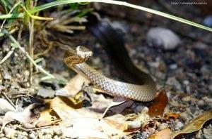crown snake