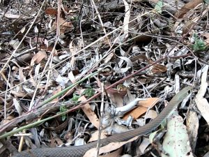 Yellow faced whip snake identification