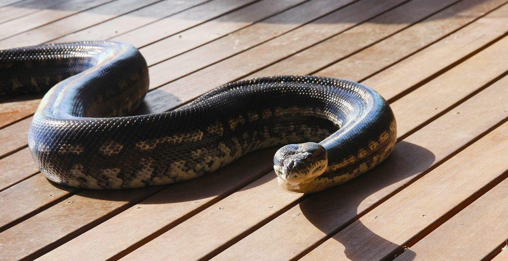 Reptile Party Carpet Python